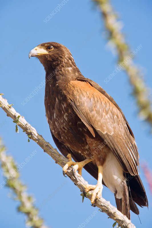 Harris hawk in an ocotillo bush