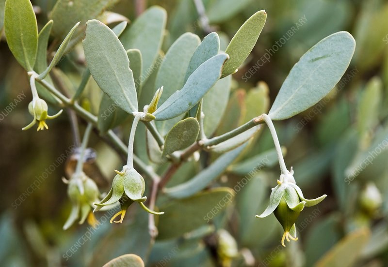 Jojoba (Simmondsia chinensis) flowers