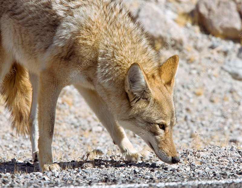 Coyote at a roadside
