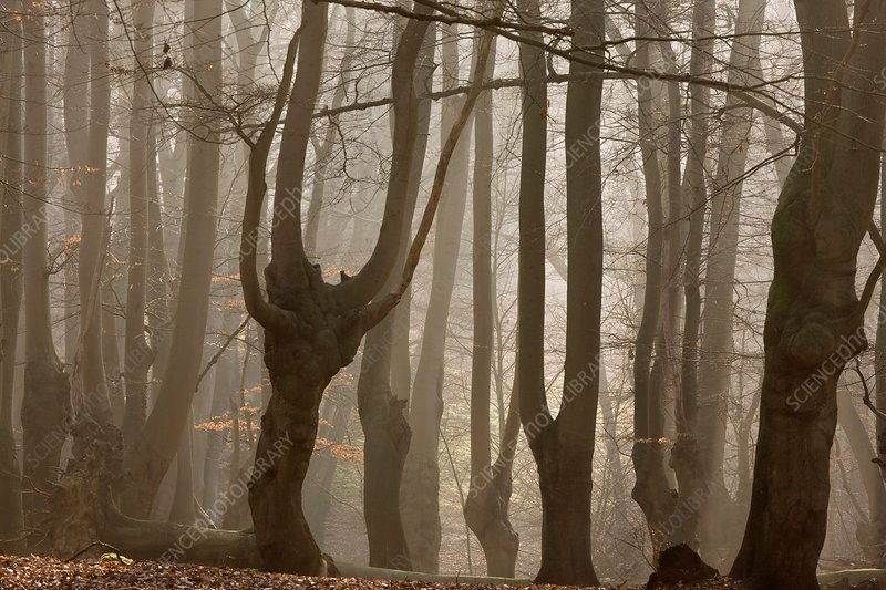 Ancient beech woodland, UK