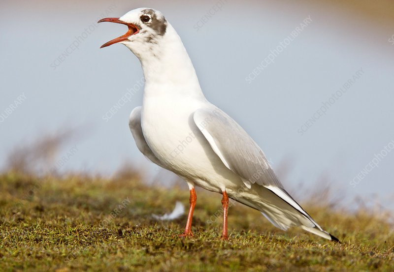 Black-headed gull calling