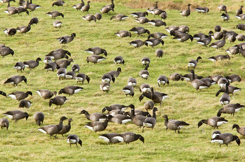 Brent geese grazing
