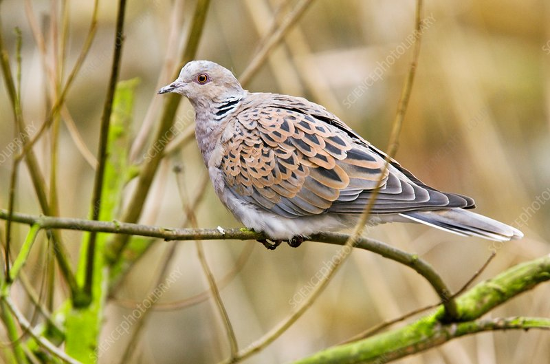European turtle dove on a branch