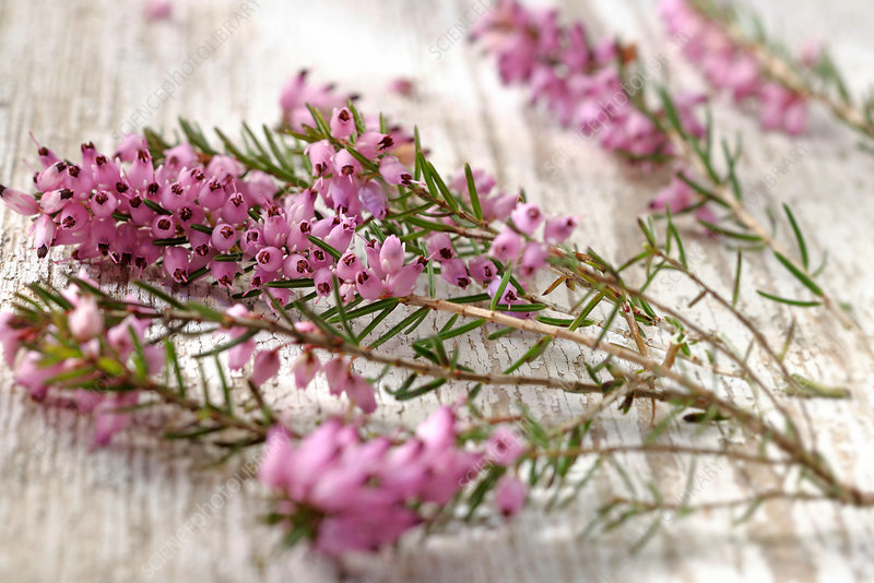 Heather (Erica sp.)