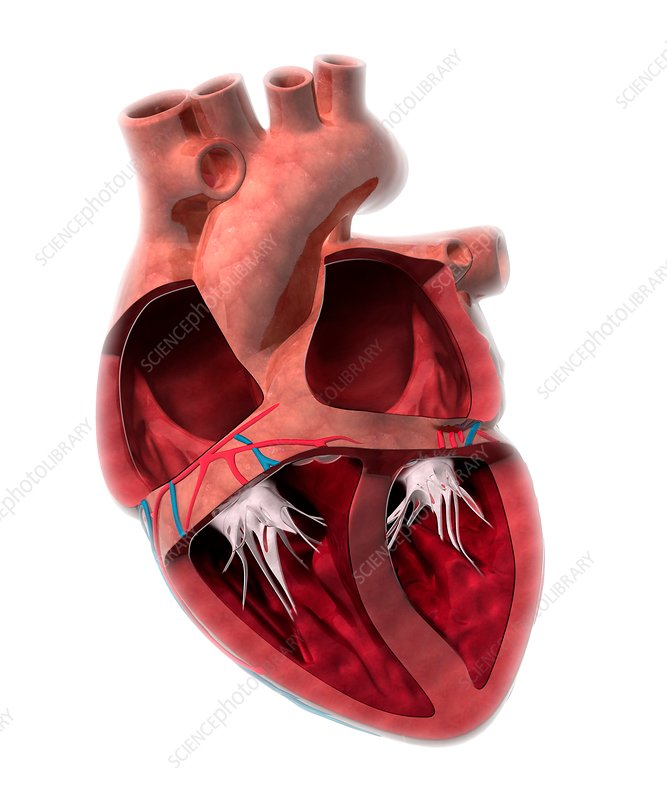 Heart Chamber Anatomy Artwork Stock Image C0142029 Science