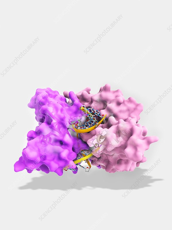 Ecorv restriction enzyme molecule