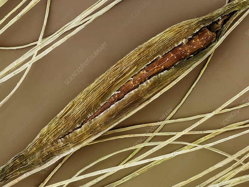Great Reedmace seed (Typha latifolia) SEM