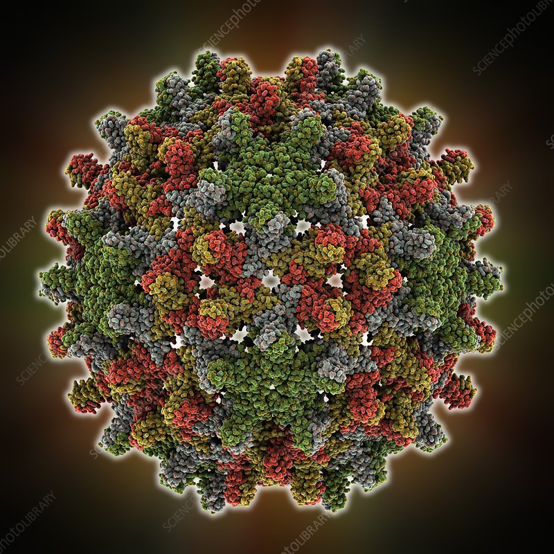 Hepatitis B virus capsid, molcular model