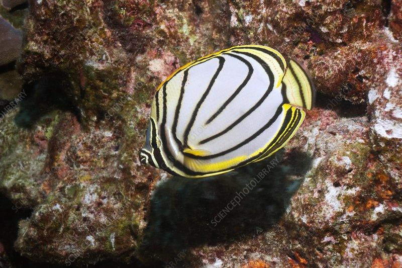 Scrawled butterflyfish on a reef