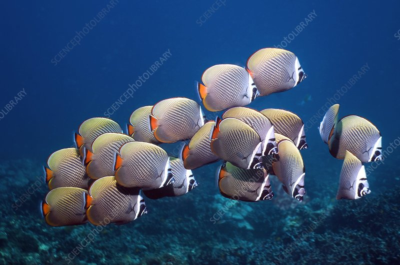 Redtail butterflyfish over a reef