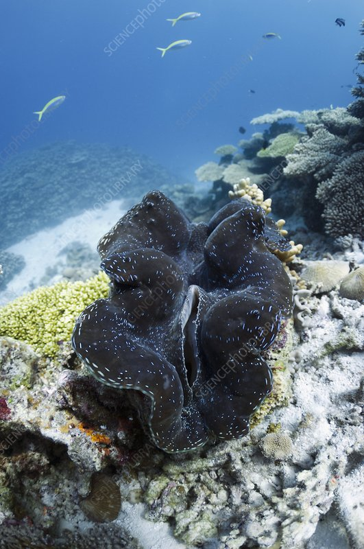 Fluted giant clam on a coral reef