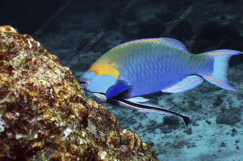 Parrotfish and remora on a reef