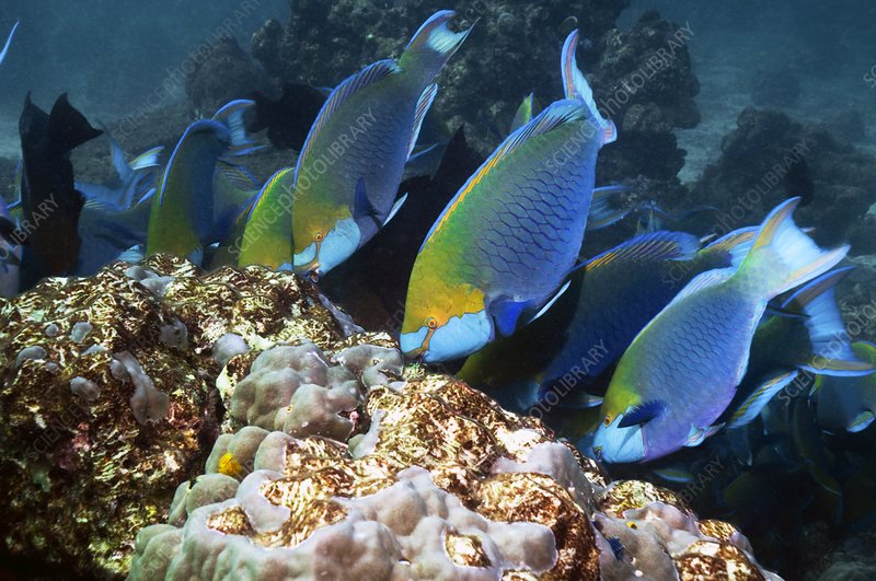 Parrotfish feeding on a reef