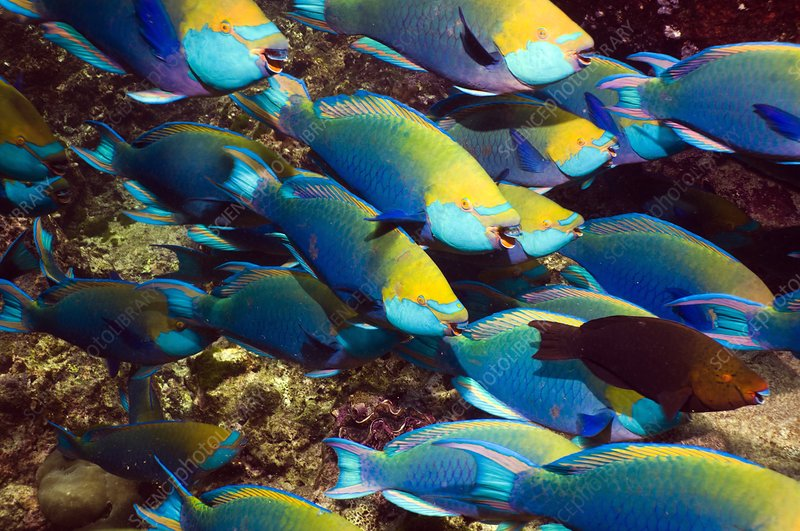 Parrotfish on a reef