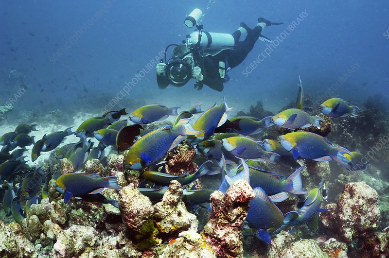 Diver with parrotfish