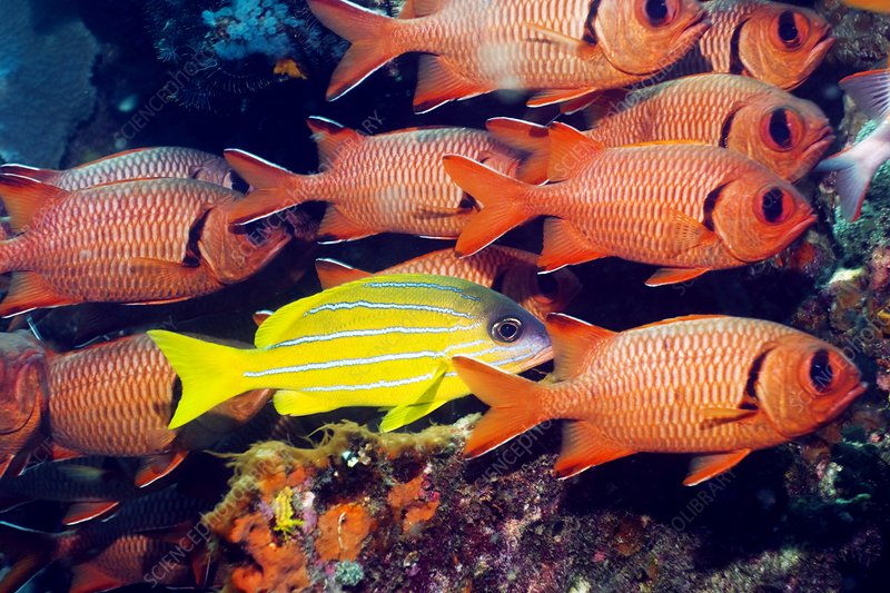 Snapper and soldierfish