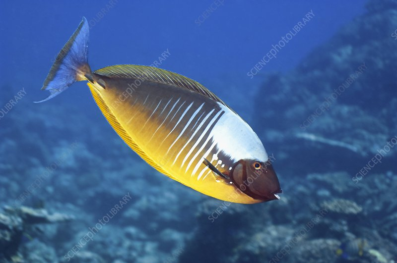 Blacktongue unicornfish