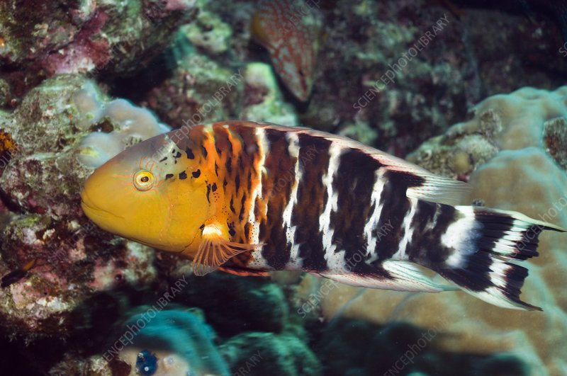 Redbreast wrasse