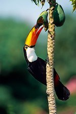 Toco toucan eating fruit