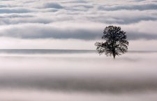 Oak (Quercus robur) tree in fog