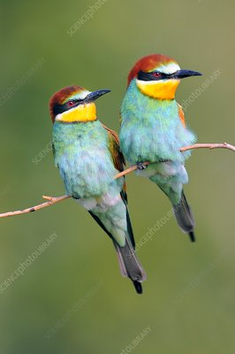 European bee-eaters on a branch