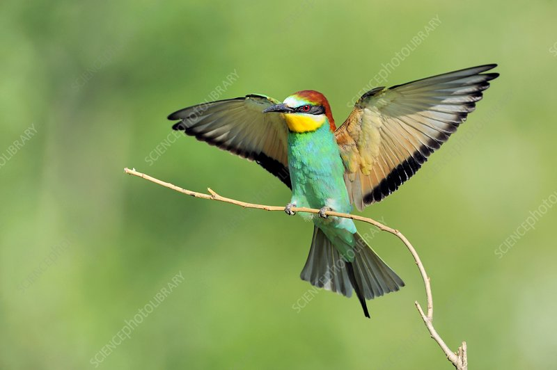 European bee-eater landing on a branch
