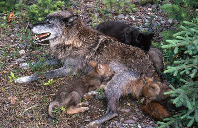 RPG Lobuno - Página 11 C0143091-Grey_Wolf_with_Pups-SPL