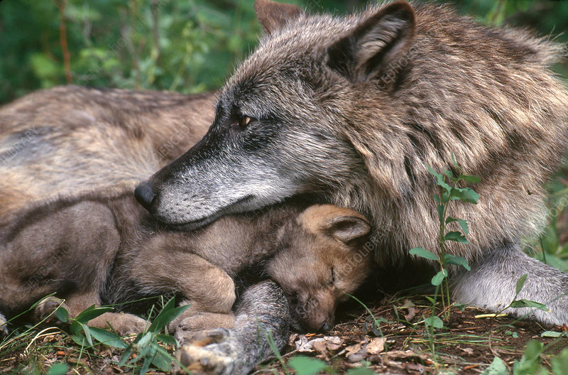 Grey Wolf with Pup