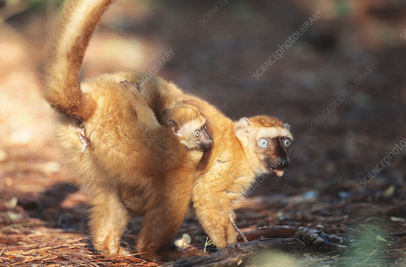 Blue-eyed Lemur with young