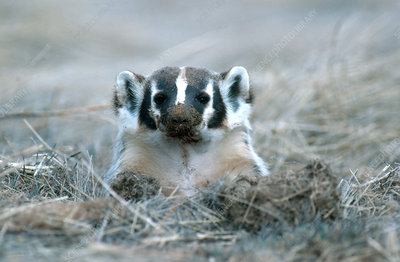 Badger in Hole