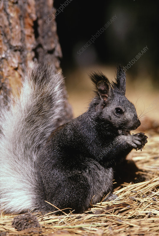 Kaibab Squirrel
