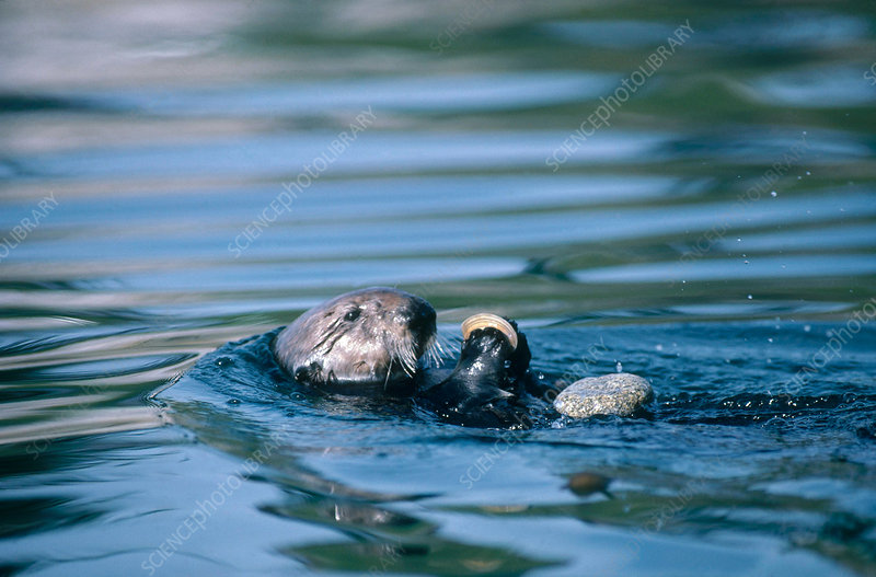 Sea Otter with Clam and Rock