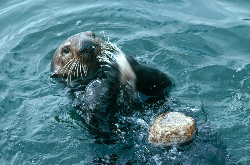 Sea Otter Opening Clam
