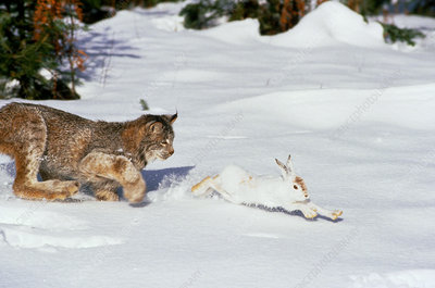 Lynx hunting snowshoe hare