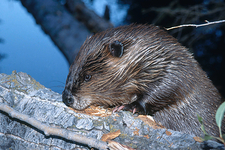 Beaver Gnawing Tree