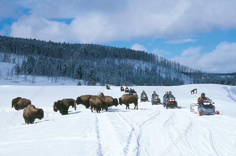 Bison and Snowmobilers