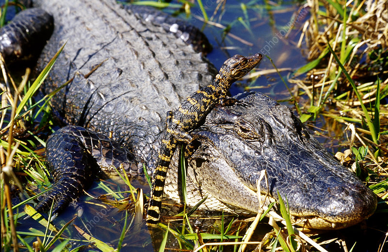 American Alligator Mother With Young