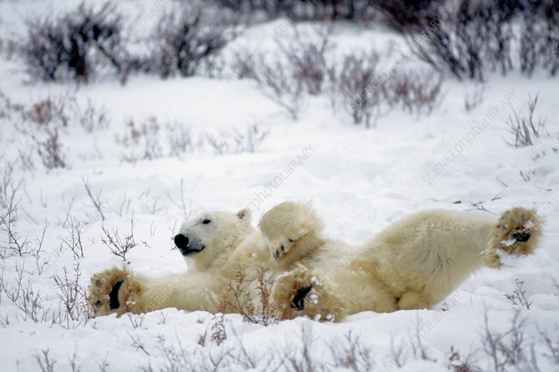 Polar Bear Stretching