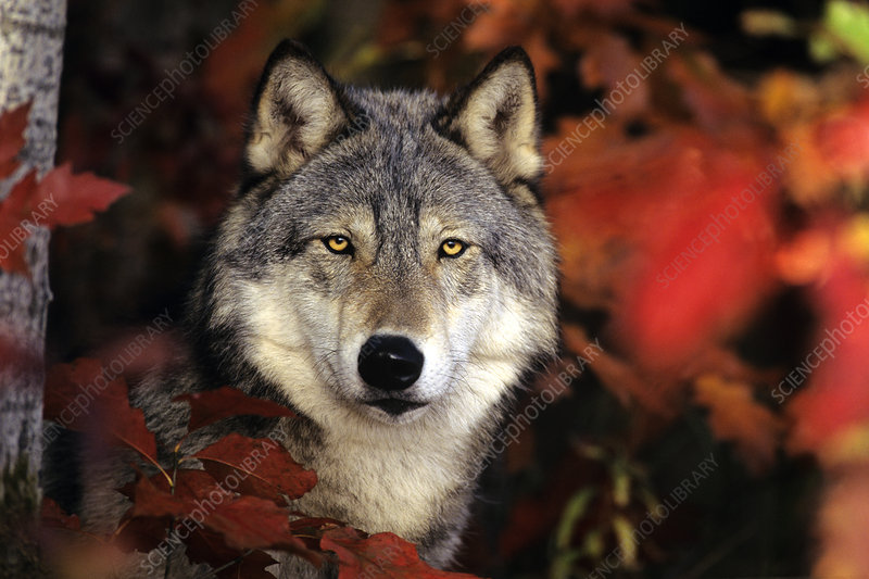 Grey Wolf or Timber Wolf
