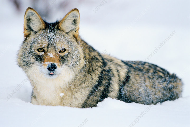 Coyote in deep snow