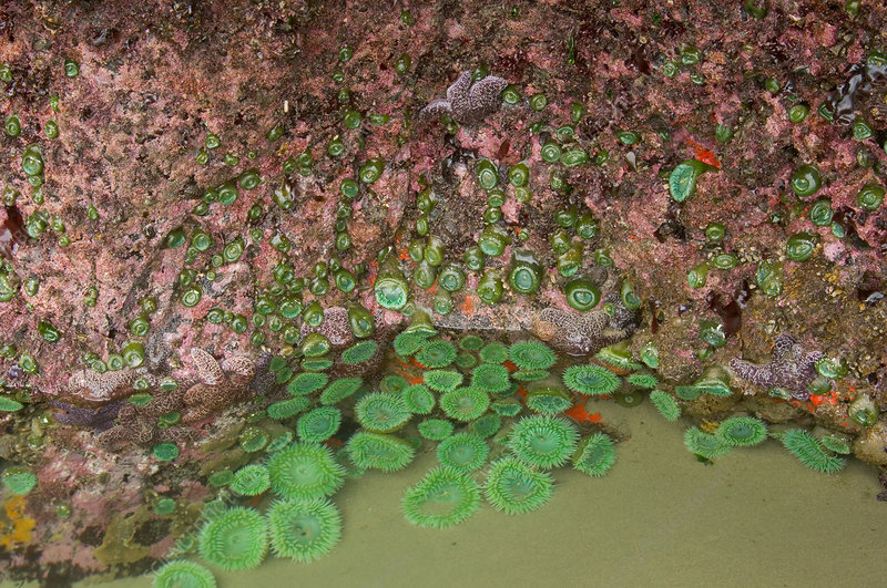 Giant Green Anemones in tidepool