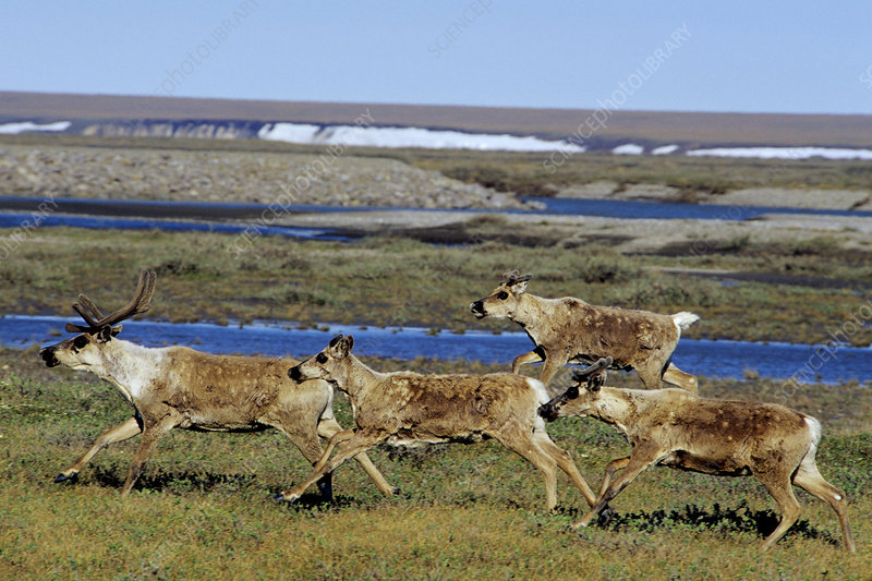 Barren Ground Caribou