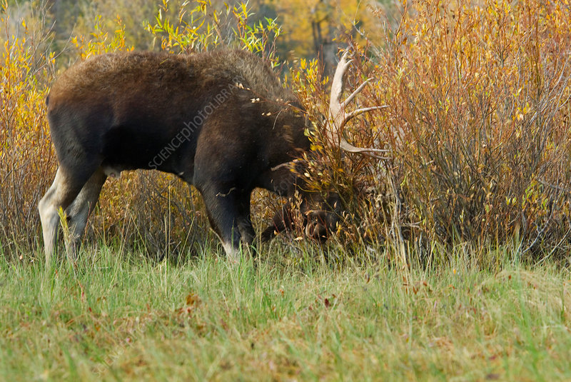 Bull Moose in rut