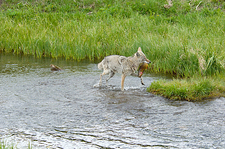 Wild Coyote with trout