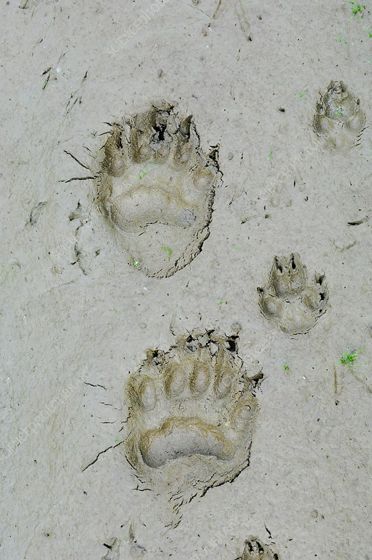 Bear and coyote tracks