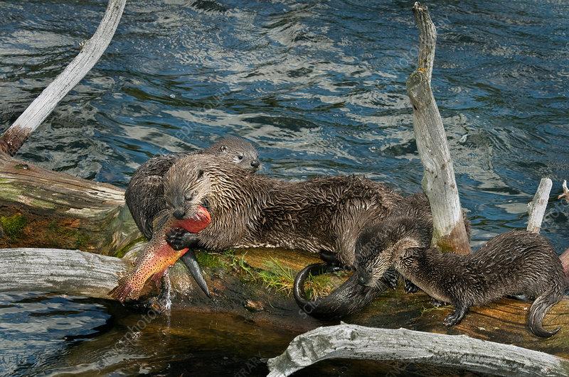 River Otter mother and young