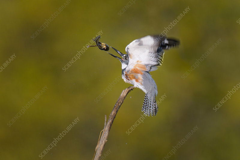 Belted Kingfisher with frog prey