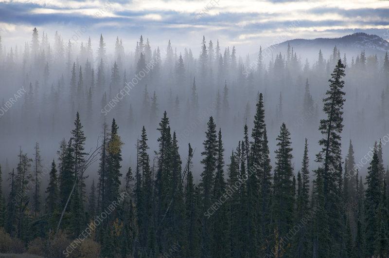 Spruce Trees in Fog