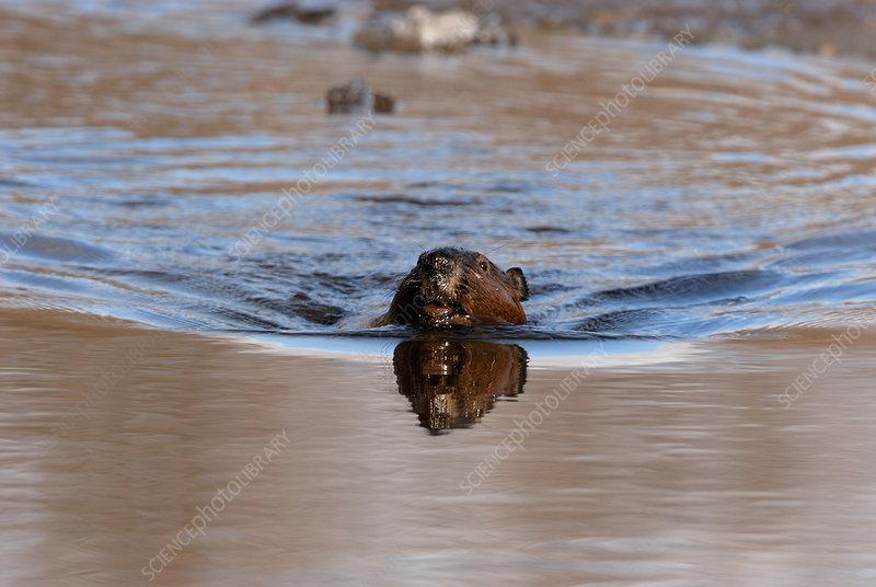 Wild Beaver Swimming