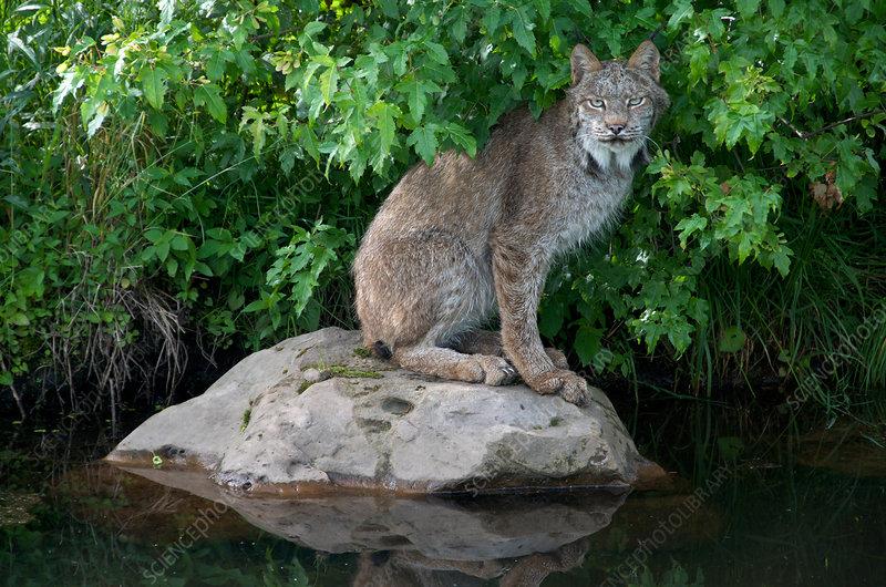 Lynx sitting on rock